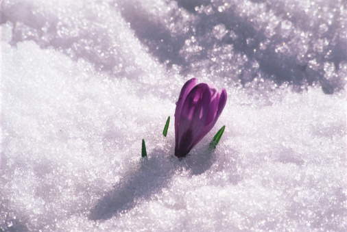 Single Crocus growing in snow
